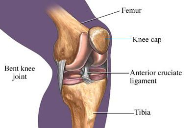 anterior_curciate_ligament_400